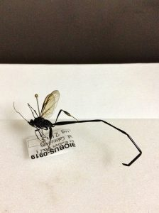 Ichneumonid wasp collected in Prince Edward Island National Park
