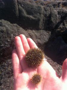 Two green sea urchins we found in the intertidal zone.