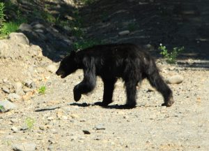 A bear happily trailing along the side of the road.