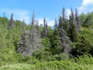 Spruce trees damaged by the spruce bark beetle in Kluane National Park.