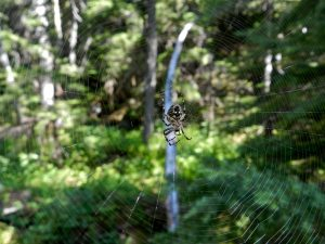 A spider in a large web at one of our forest sites