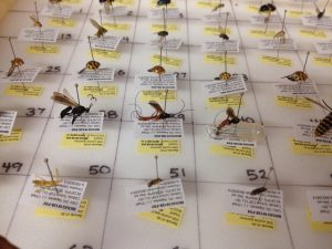 An array of pinned specimens ready to be sampled for DNA barcoding