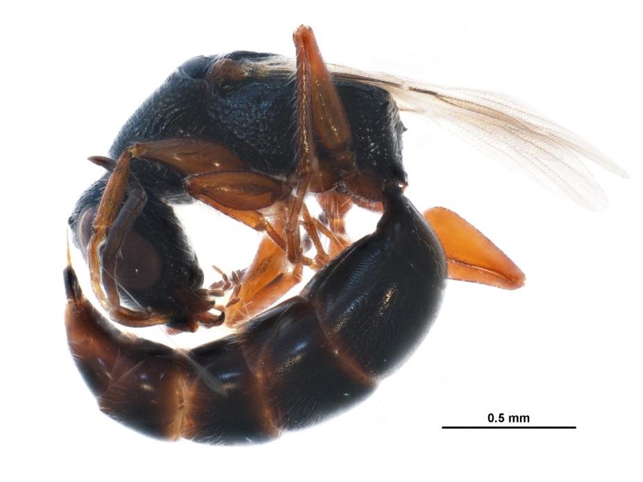 Hymenoptera, Bethylidae - BOLD:ACR7610*