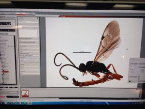 Imaging a Hymenoptera (wasp)
