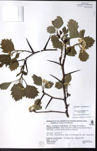 Herbarium sheet for Crataegus ursopedensis, commonly named Bear's paw hawthorn.