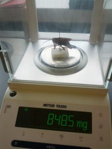 Weighing a grasshopper on a highly sensitive scale.