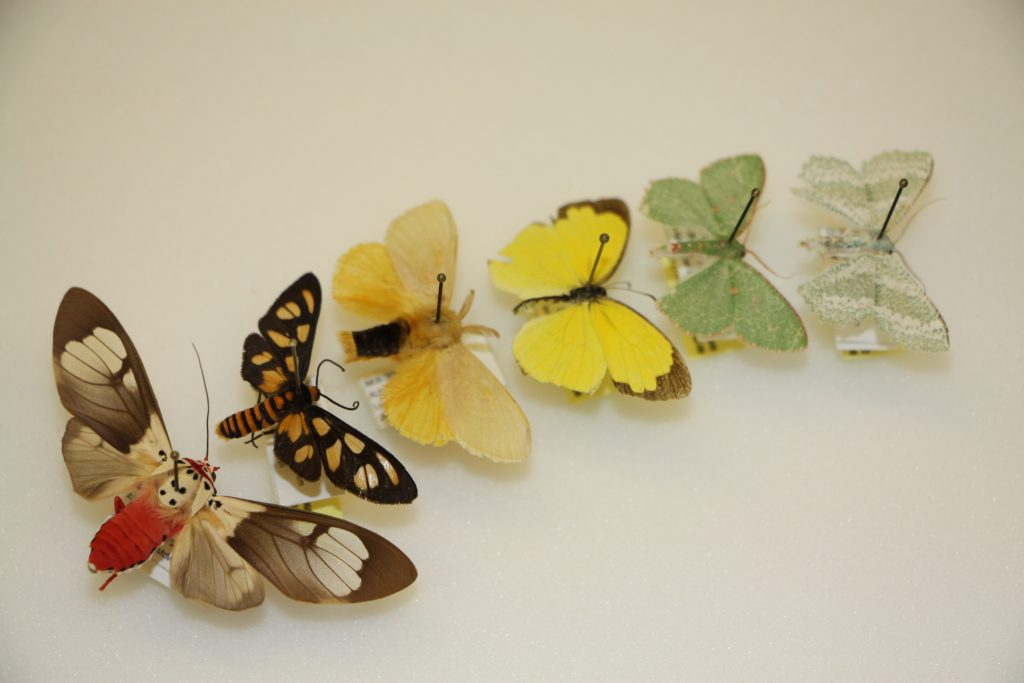 Assorted moths collected from Western Australia
