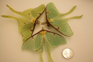 These large Luna moths - collected from New Brunswick - can also be found scattered around Ontario