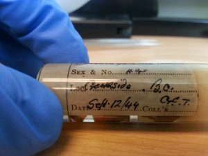 A vial containing cat-faced spiders Araneus gemmoides from 1944