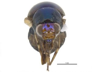 Beetle fly from the front: mandible, maxilla, labium, and labrum