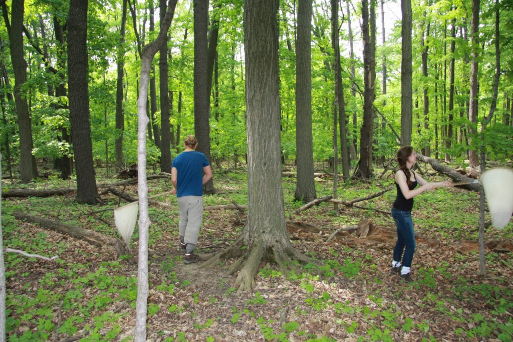 Here again at our hardwood forest site, Dan (left) and Shannon (right) are sweeping the understory for insects. Sweep netting is part of our standardized sampling protocol, where we net insects for 5 minutes