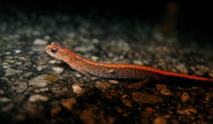 One of the more common species of salamander found in Ontario, red-backs love laying under moist logs and rocks. Eastern Red-backed Salamander, Plethodon cinereus by Dave Huth. All rights reserved.