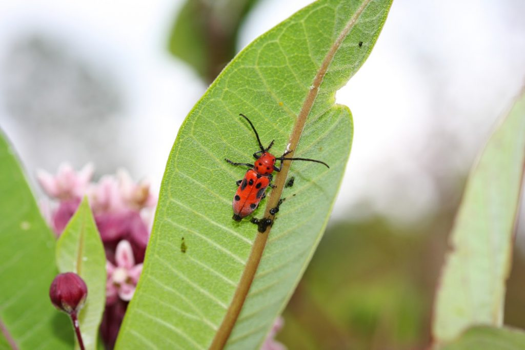 Red milkweed beetle (Tetraopes tetrophthalmus) hanging around on a milkweed plant, waiting for a potential mate