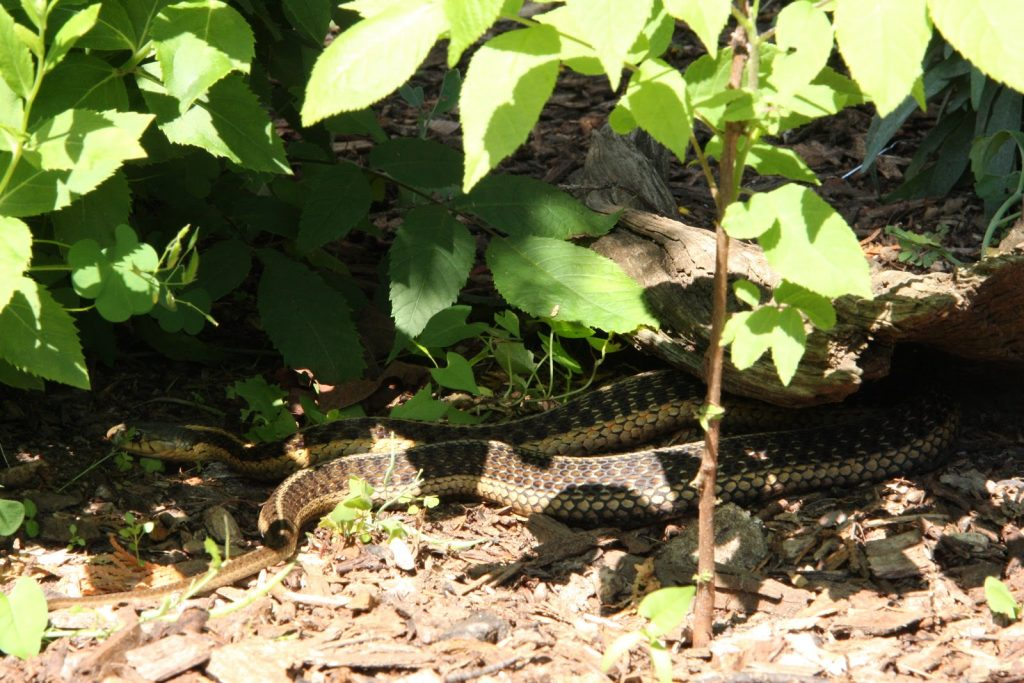 Garter Snake slithering around the Backus Conservation Education Centre