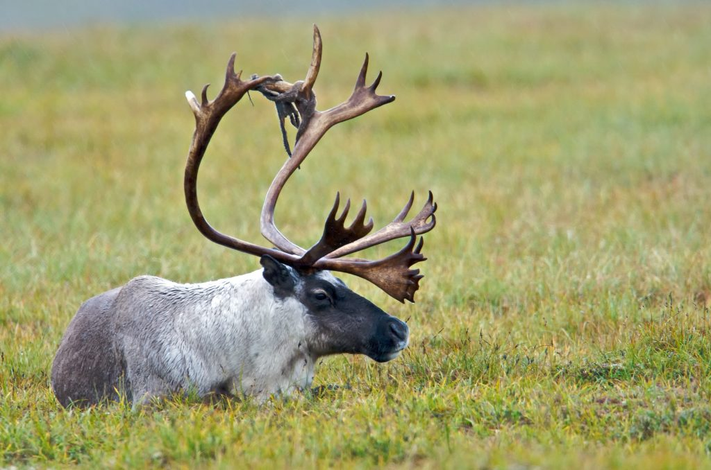 An adult caribou enjoying a lazy afternoon. Caribou by the Bering Land Bridge National Preserve. Some rights reserved.