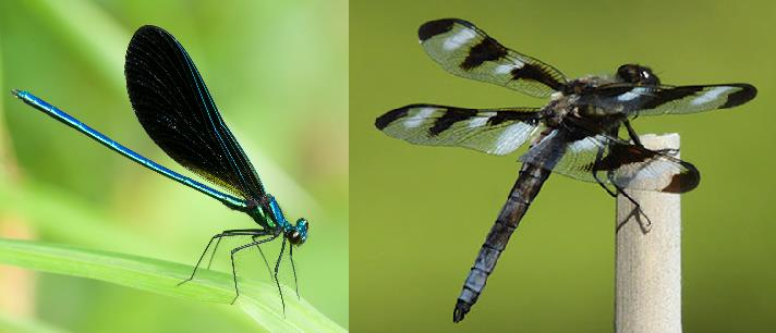 Two common Ontario Odonata: A twelve spotted skimmer dragonfly (right) and an ebony jewelwing damselfly (left). Both are common around water bodies during the summer in Ontario. https://acrittersview.files.wordpress.com/2012/06/ebony-jewelwing.jpg, http://www.libertywildlife.org/wp-content/uploads/2014/03/Gail-Spotted-Skimmer.jpg,