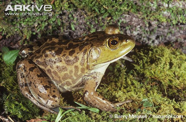 Top: Green frog (Lithobates clamitans) with ridges of skin down its back Bottom: American bullfrog (Lithobates catesbeiana)