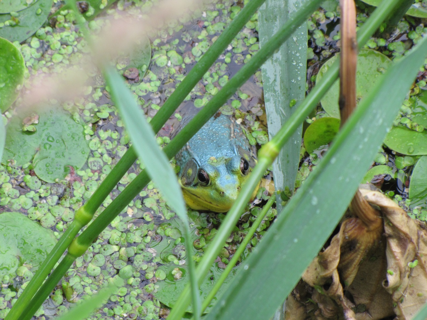 Blue-coloured Green frog (Lithobates clamitans) in Rondeau Bay, hiding in the weeds
