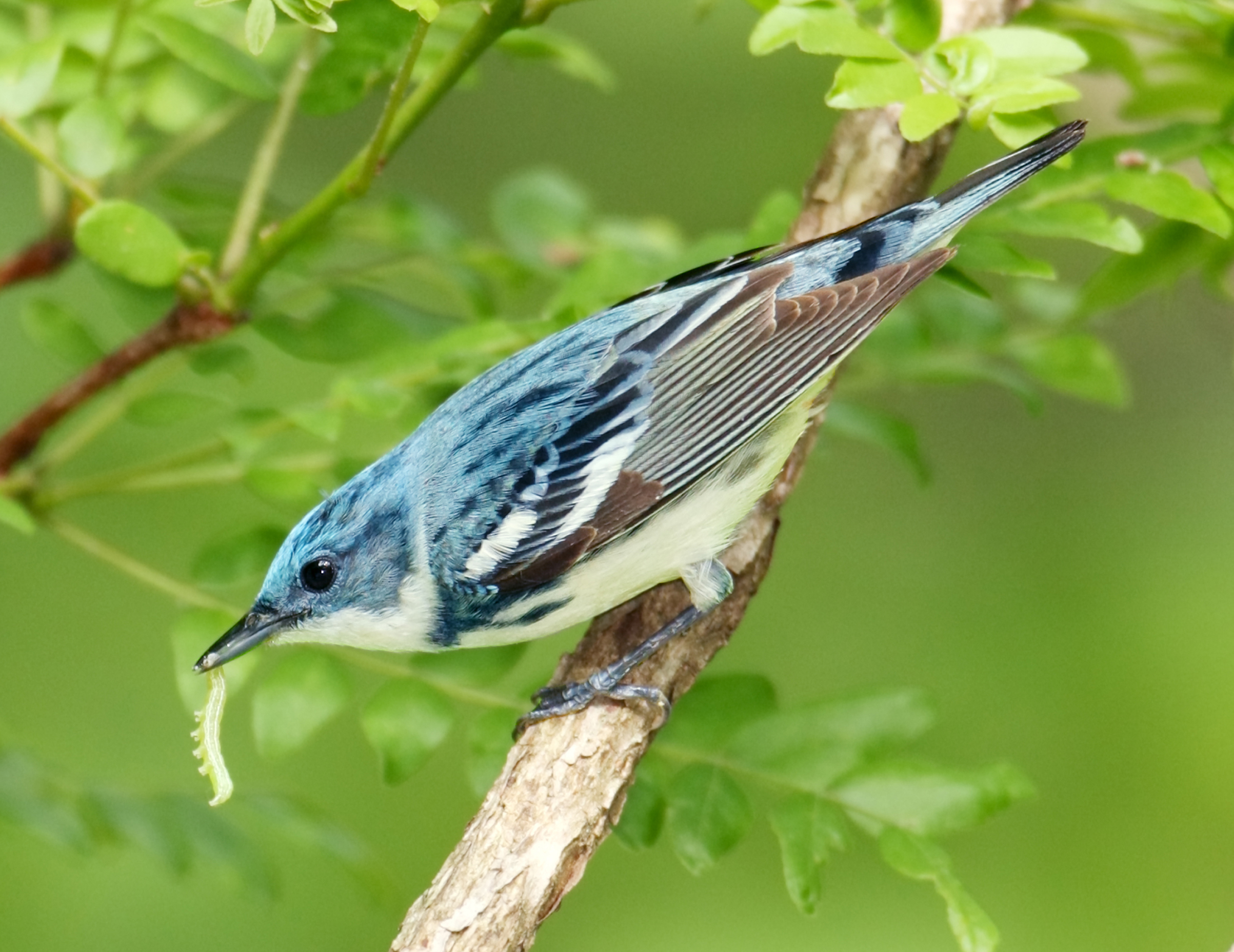 Cerulean Warbler, Dendroica cerulean, a small bird of the deciduous forest treetops,  http://refugeassociation.org/wp-content/uploads/2011/07/jim-burns-cerulean-warbler.jpg