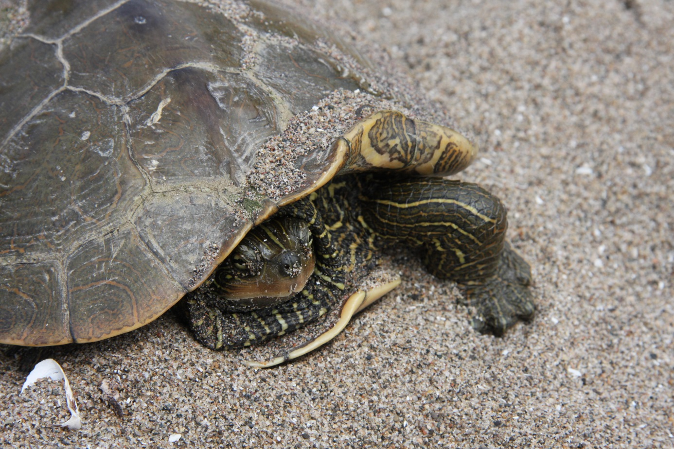 Northern map turtle (Graptemys geographica) on the beach of Lake Pond.
