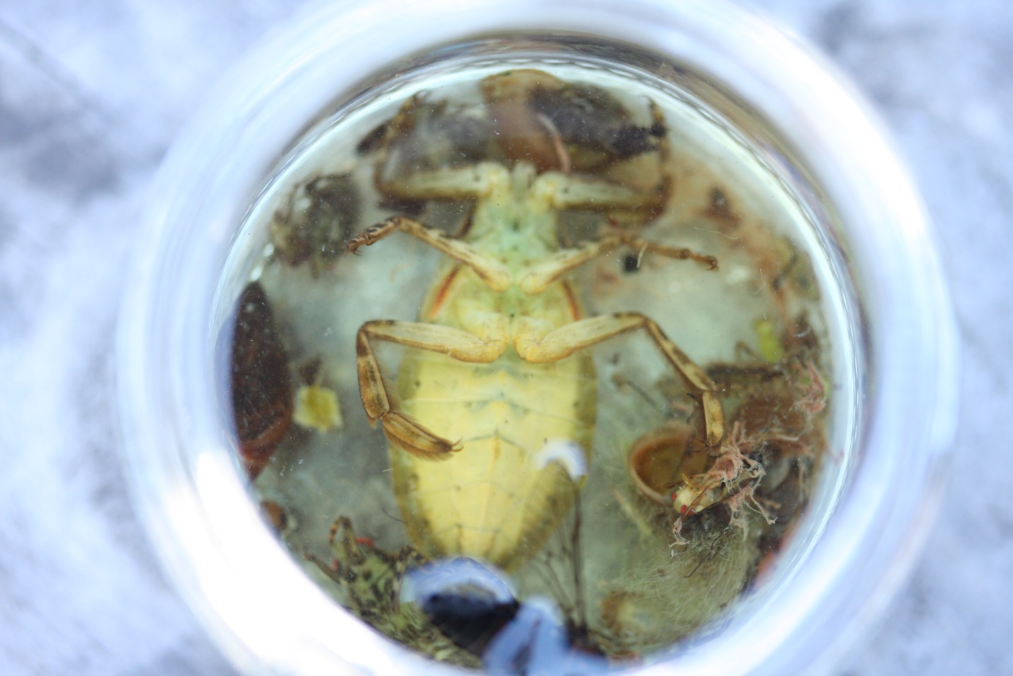Here's a photo of one of the belostomatids caught during our sampling. As you can see it's not quite as big as the giant water bug from Madagascar, but it still dwarfs the fly in the lower right corner!