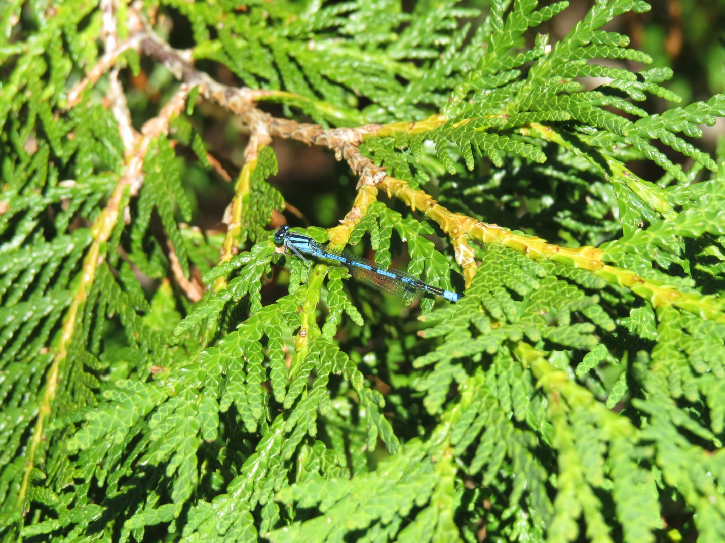 An adult damselfly found on vegetation around one of the bogs we sampled at Bruce Peninsula National Park.