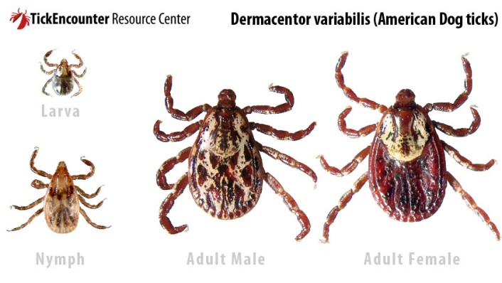 These are the life stages of the Rocky Mountain Wood tick and the American Dog tick. Both taken from http://www.tickencounter.org/