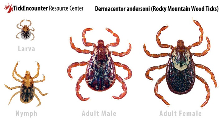 tick life stages - rocky