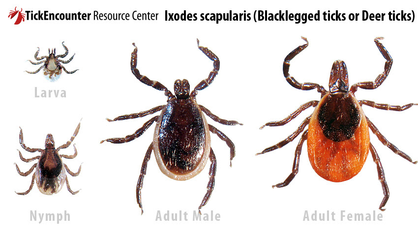tick life stages