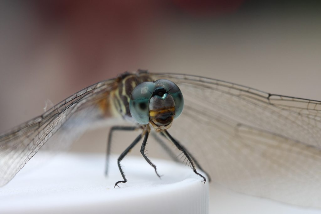 An adult dragonfly peers at us from atop a sample jar