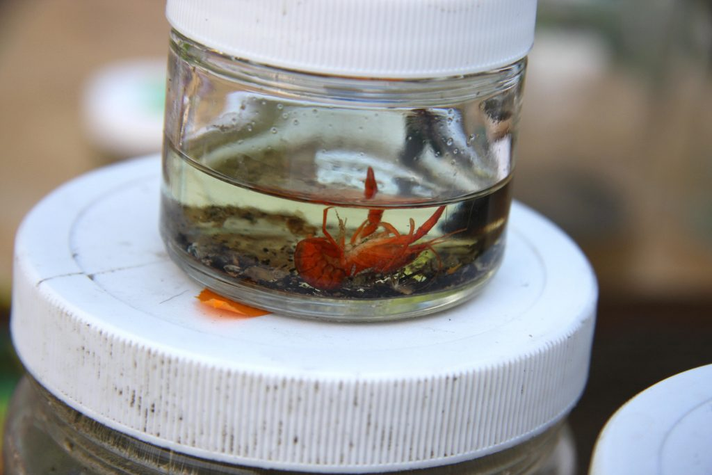 Crayfish within the macro-invertebrates sample jar back at camp