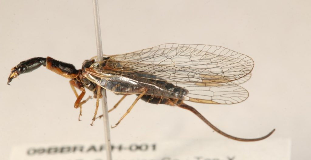 Female snakefly, showing the ovipositor (not a sting!)
