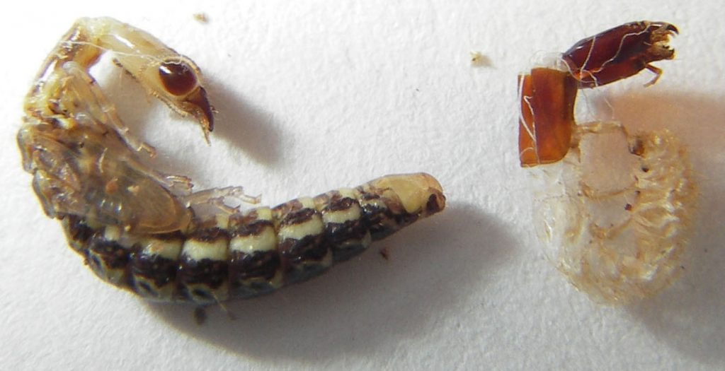 Snakefly pupa, next to the molt of its previous larvae stage. https://goo.gl/dKV63P