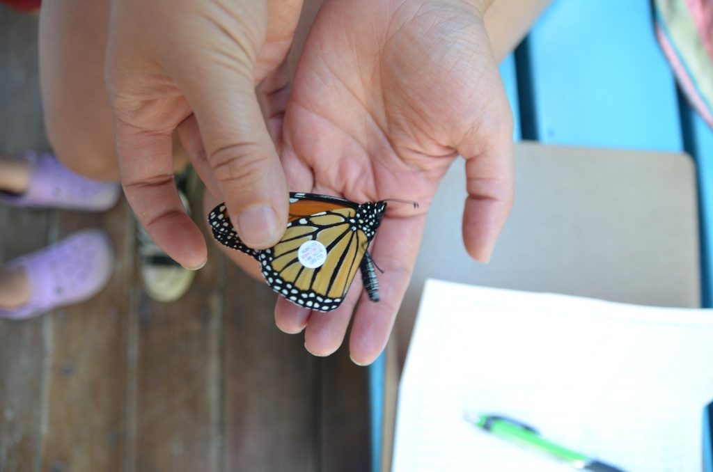 A tiny super adhesive sticker helps use track the monarch migration
