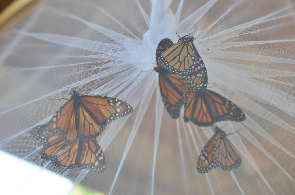 Adult monarch butterflies waiting to be tagged