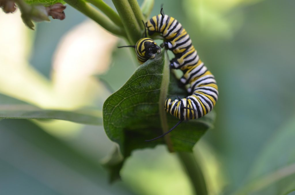 Two monarch caterpillars munching on milkweed