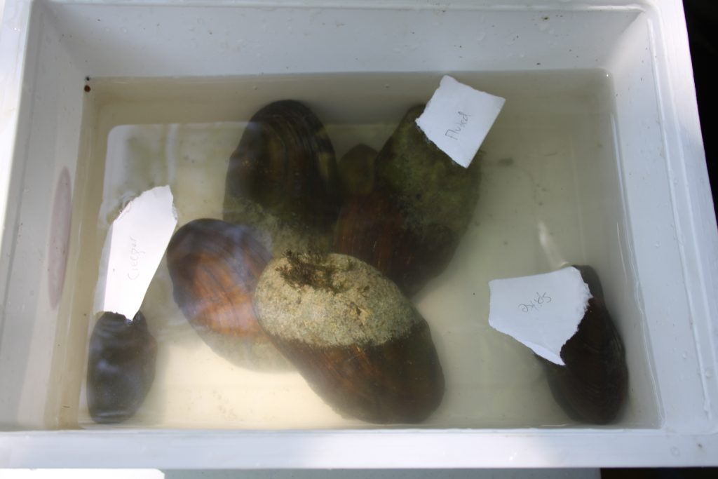 Mussels collected by the DFO team