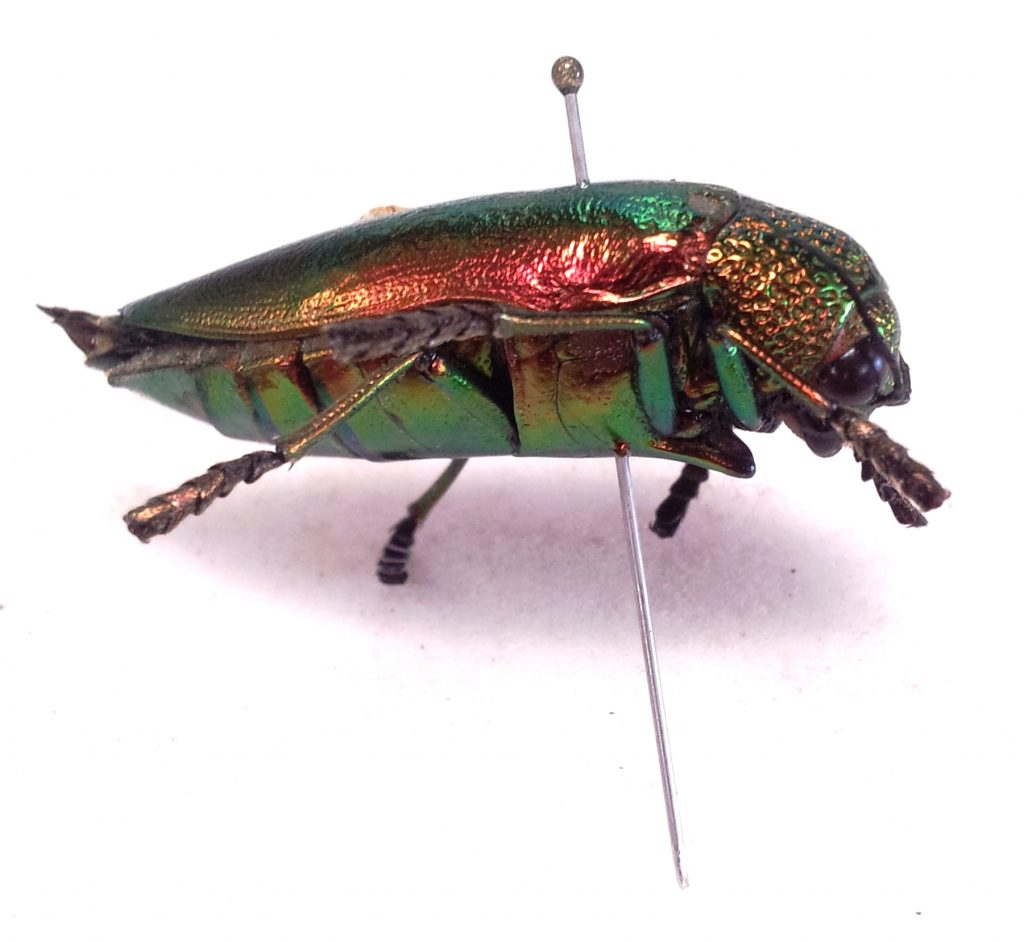 Unknown Buprestidae collected in Bangladesh, Chittagong province. It measured about an inch and a half long