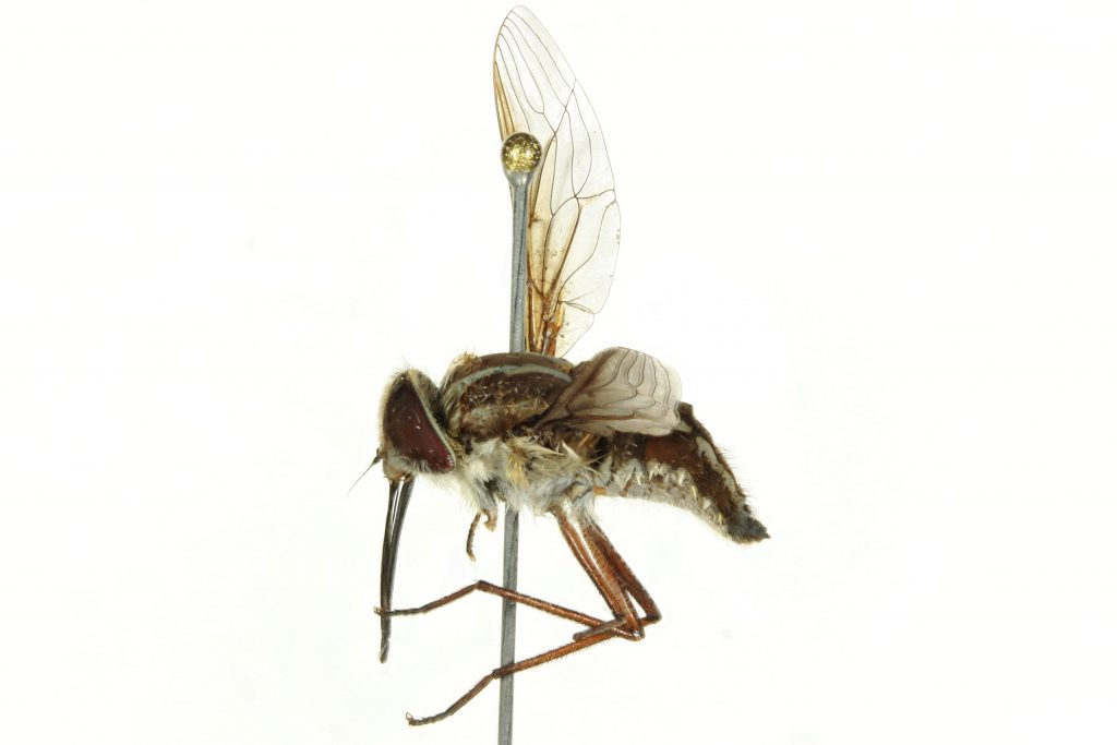 The tangled wing fly, Trichopthalama leucophaea. Collected in Perth, Australia