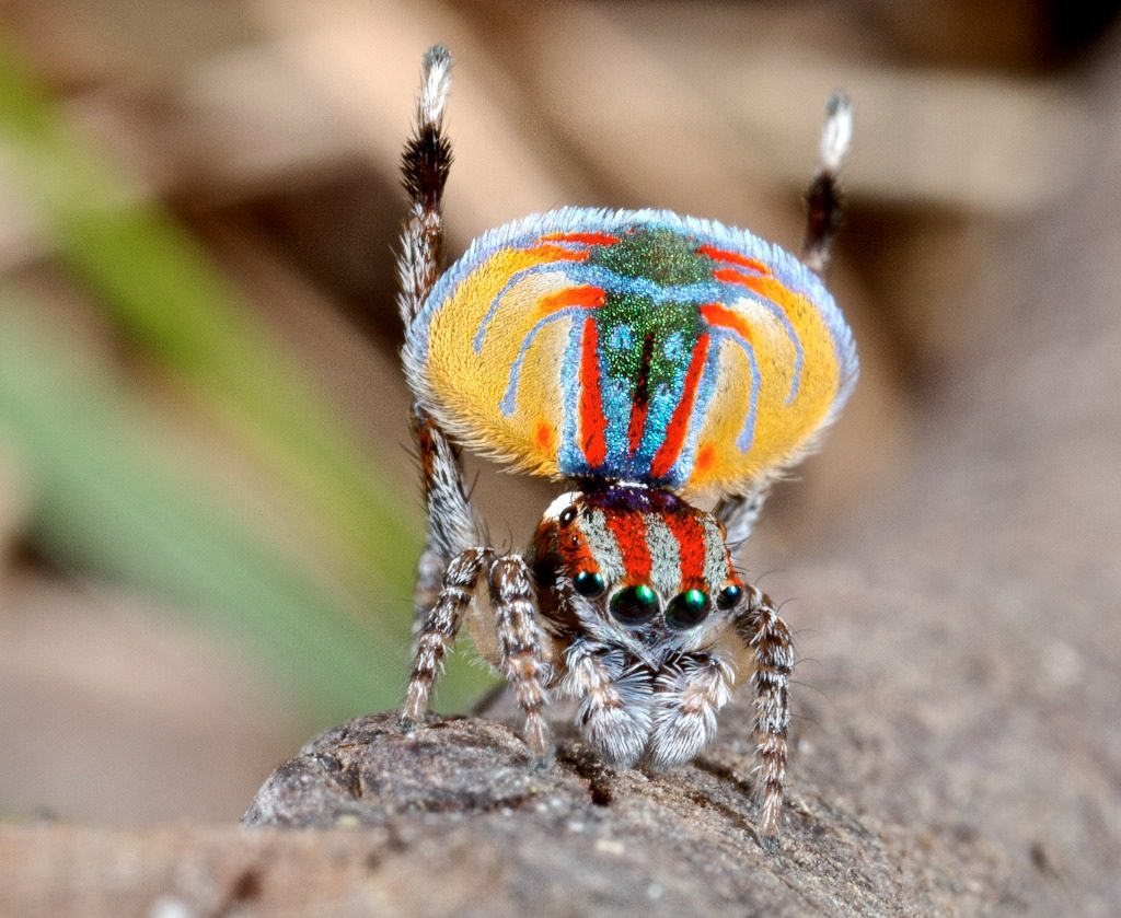 A male peacock spider displaying for a female