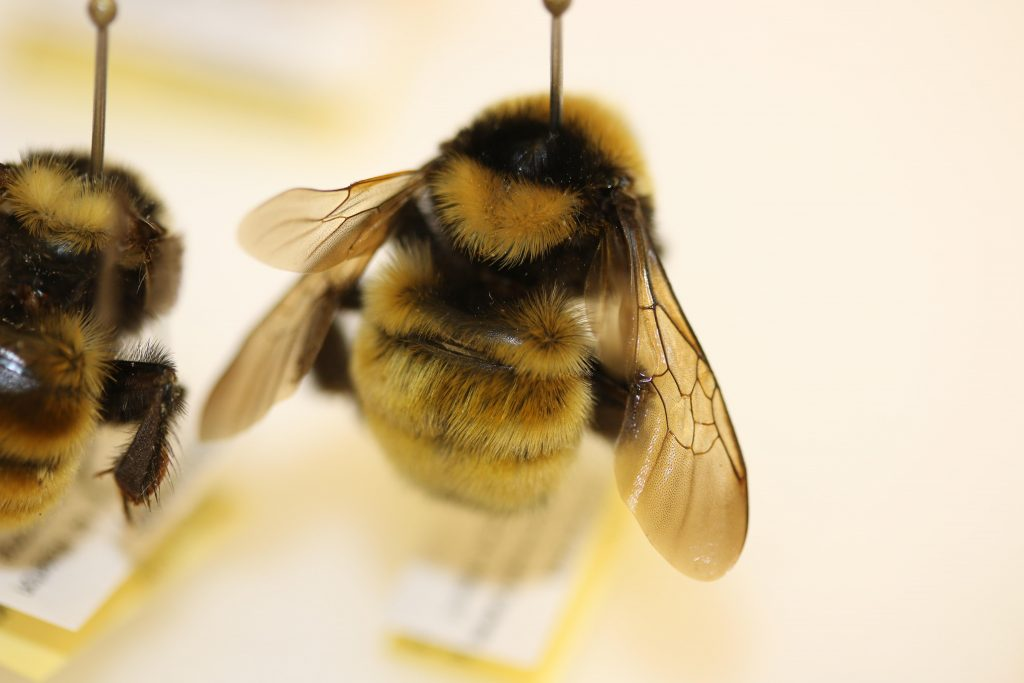 A Canadian bumblebee with a lovely fur coat