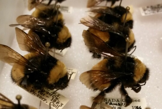 I stumbled across these little guys while searching for other Hymenoptera in the Lyman Collection. They're so fluffy, I'm gonna die!