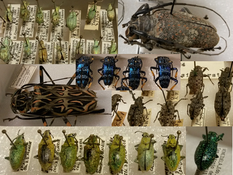 An assortment of some of the really cool and interesting beetles that are housed at the Lyman Collection. If you couldn't tell, weevils and longhorns are some of my favourites!