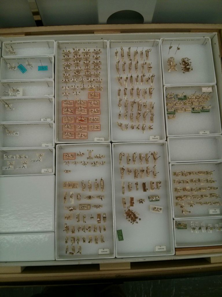 This is how specimens are arranged in large glass topped drawers at the Smithsonian, note the blue labels that are placeholders for specimens that we have borrowed.