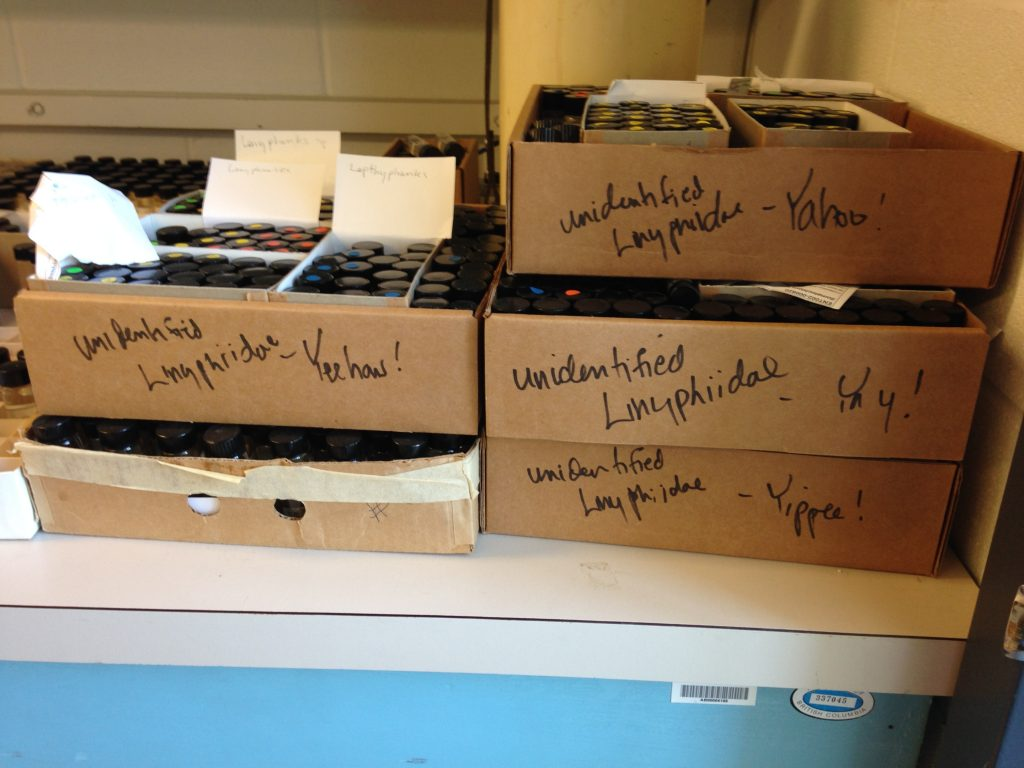 Spider specimens waiting for identification. Work is fun when you love what you do!
