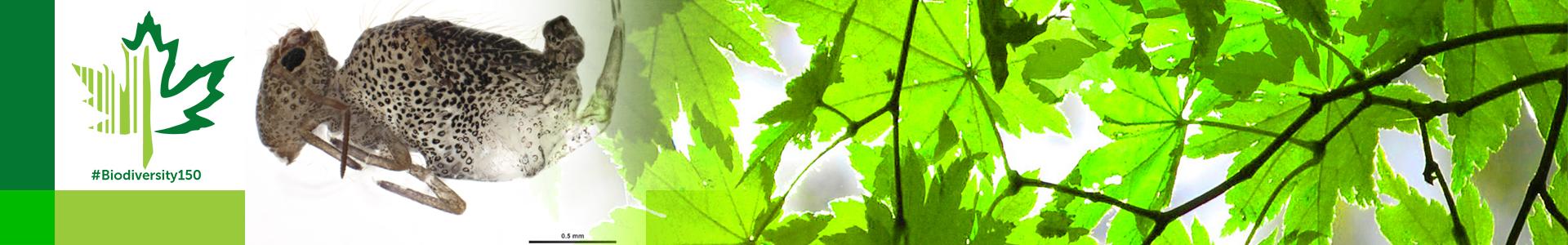 #Biodiversity150 number 16 of 150 Globular Springtail