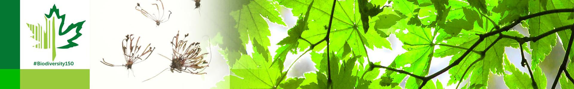 #Biodiversity150 number 21 of 150 Slender Leaf Sundew