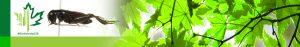 #Biodiversity150 number 31 of 150 Gryllus veletis