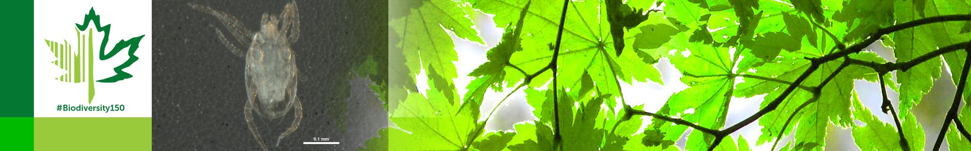 #Biodiversity150 number 25 of 150 predatory plant mite Typhlodromus pyri