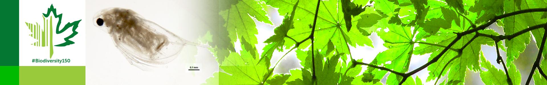 #Biodiversity150 number 52 of 150 Daphnia pulex